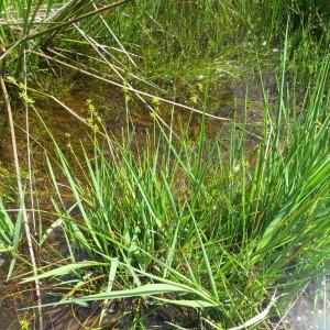 Photographie n°334618 du taxon Carex echinata Murray