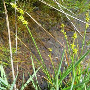 Photographie n°334620 du taxon Carex echinata Murray