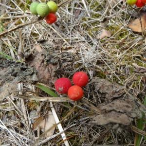 Photographie n°334698 du taxon Bryonia dioica Jacq.