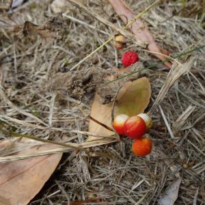 Photographie n°334699 du taxon Bryonia dioica Jacq.