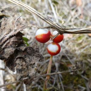 Photographie n°334700 du taxon Bryonia dioica Jacq.