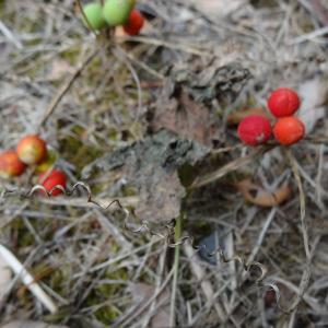 Photographie n°334701 du taxon Bryonia dioica Jacq.