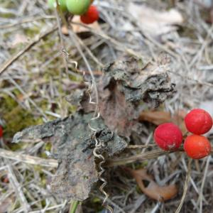 Photographie n°334702 du taxon Bryonia dioica Jacq.