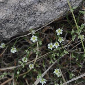 Photographie n°334786 du taxon Arenaria serpyllifolia L. [1753]