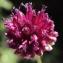 Liliane Roubaudi - Allium sphaerocephalon L. [1753]