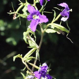 Photographie n°335738 du taxon Legousia speculum-veneris (L.) Chaix