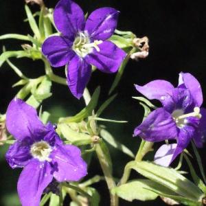 Photographie n°335740 du taxon Legousia speculum-veneris (L.) Chaix