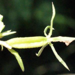 - Legousia speculum-veneris (L.) Chaix
