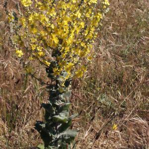 Photographie n°335825 du taxon Verbascum pulverulentum Vill.
