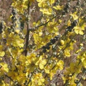 Photographie n°335830 du taxon Verbascum pulverulentum Vill.