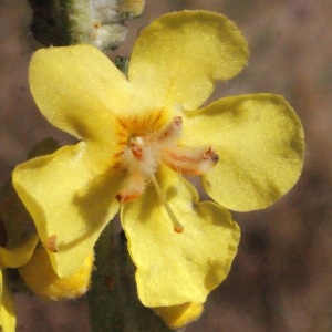 - Verbascum pulverulentum Vill. [1779]