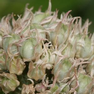 Photographie n°335910 du taxon Allium acutiflorum Loisel. [1809]