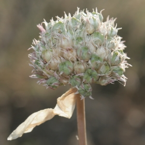 Photographie n°335927 du taxon Allium acutiflorum Loisel. [1809]