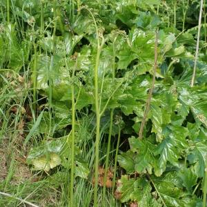 Photographie n°336833 du taxon Gladiolus communis L. [1753]