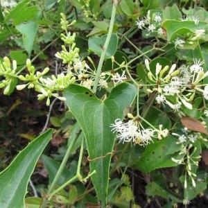 Photographie n°336875 du taxon Smilax aspera L. [1753]