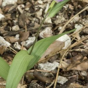 Photographie n°337036 du taxon Cephalanthera rubra (L.) Rich. [1817]