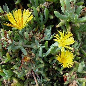 Photographie n°337319 du taxon Carpobrotus N.E.Br.