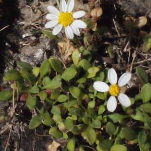Photographie n°337894 du taxon Bellium bellidioides L. [1771]