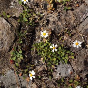 Photographie n°337897 du taxon Bellium bellidioides L. [1771]