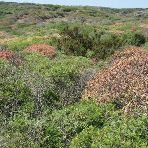 Photographie n°337905 du taxon Euphorbia dendroides L. [1753]