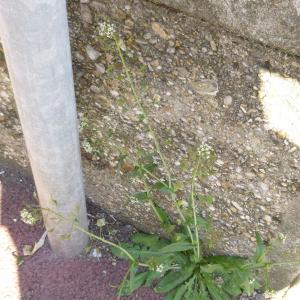 Photographie n°338491 du taxon Capsella bursa-pastoris (L.) Medik.