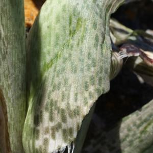 Photographie n°338523 du taxon Dracunculus muscivorus (L.f.) Parl.