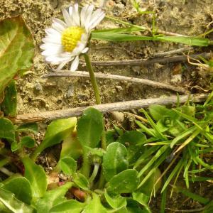Photographie n°338553 du taxon Bellis perennis L.