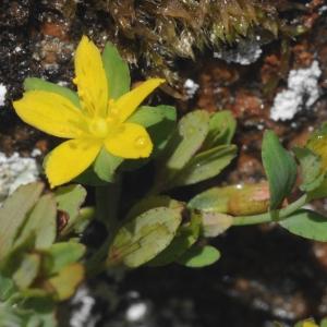 Photographie n°338619 du taxon Hypericum humifusum L. [1753]