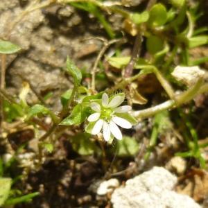 Photographie n°338826 du taxon Stellaria media (L.) Vill. [1789]