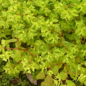 Photographie n°338835 du taxon Euphorbia peplus L. [1753]