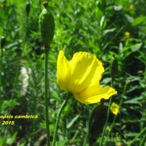 Photographie n°339033 du taxon Meconopsis cambrica (L.) Vig. [1814]
