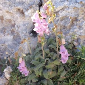 Photographie n°339091 du taxon Digitalis minor L.