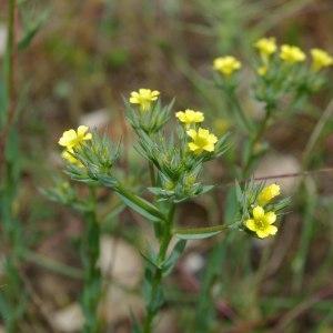 Photographie n°339250 du taxon Linum strictum L.