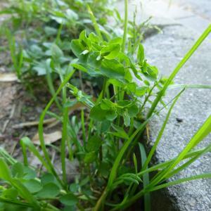 Photographie n°339333 du taxon Euphorbia peplus L. [1753]