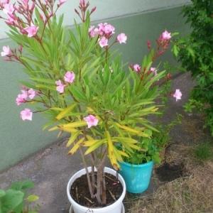 Photographie n°339429 du taxon Nerium oleander L. [1753]