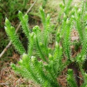 Photographie n°339536 du taxon Lycopodium clavatum L. [1753]