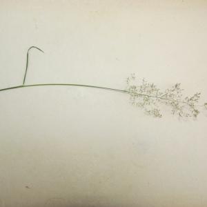 Photographie n°339630 du taxon Agrostis capillaris var. capillaris