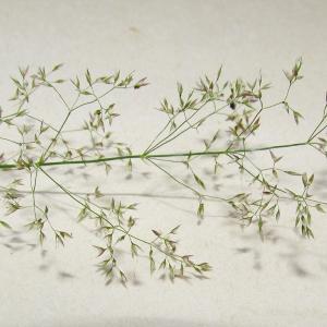 - Agrostis capillaris var. capillaris