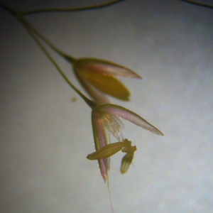 Agrostis canina L. var. canina (Agrostide canine)