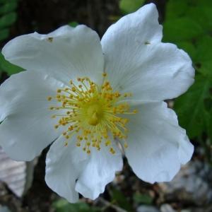Photographie n°339719 du taxon Rosa arvensis Huds.