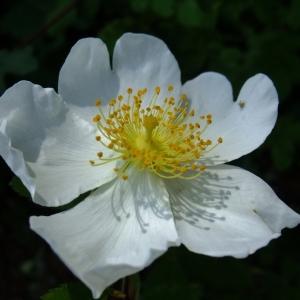 Photographie n°339725 du taxon Rosa arvensis Huds.