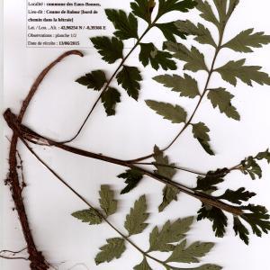 Photographie n°339730 du taxon Meconopsis cambrica (L.) Vig. [1814]