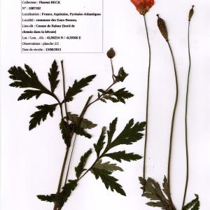 Photographie n°339732 du taxon Meconopsis cambrica (L.) Vig. [1814]
