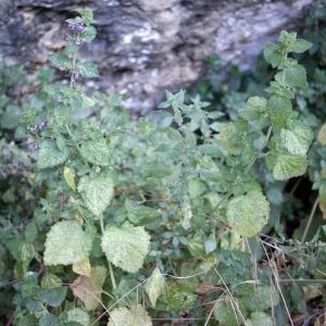 Photographie n°340137 du taxon Ballota nigra subsp. foetida (Vis.) Hayek