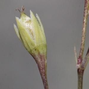 Photographie n°340274 du taxon Stellaria alsine Grimm