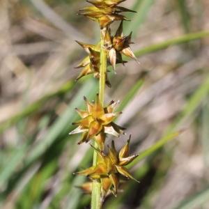 Photographie n°340301 du taxon Carex echinata Murray