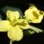 Liliane Roubaudi - Conringia orientalis (L.) Dumort. [1827]