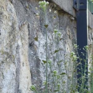 Photographie n°340492 du taxon Capsella bursa-pastoris (L.) Medik.
