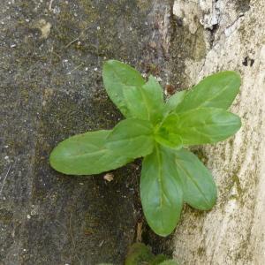 Photographie n°340758 du taxon Euphorbia peplus L. [1753]