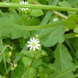 Photographie n°340761 du taxon Stellaria media (L.) Vill. [1789]